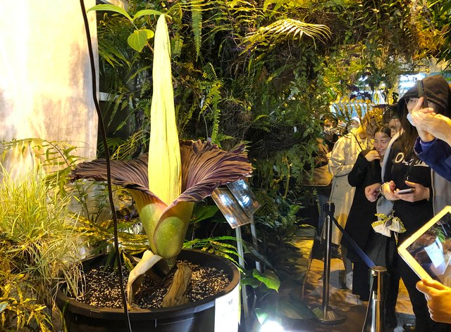 People come to see the rare blooming of the endangered Sumatran Titan arum