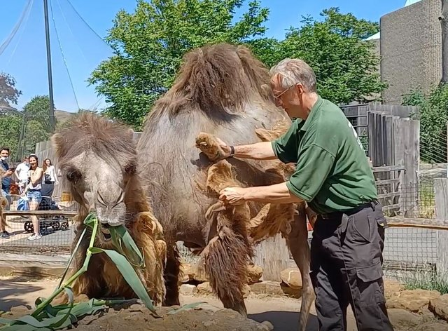 Keeper Mick Tiley gives Bactrian camel Noemie a brush-down