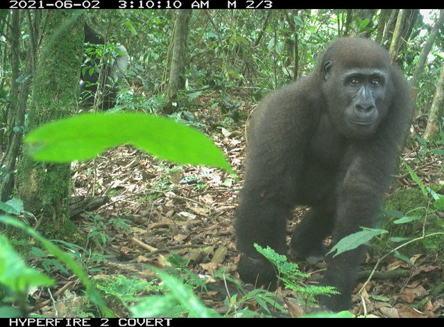 Cross River gorilla caught on camera trap (WCS Nigeria/PA)
