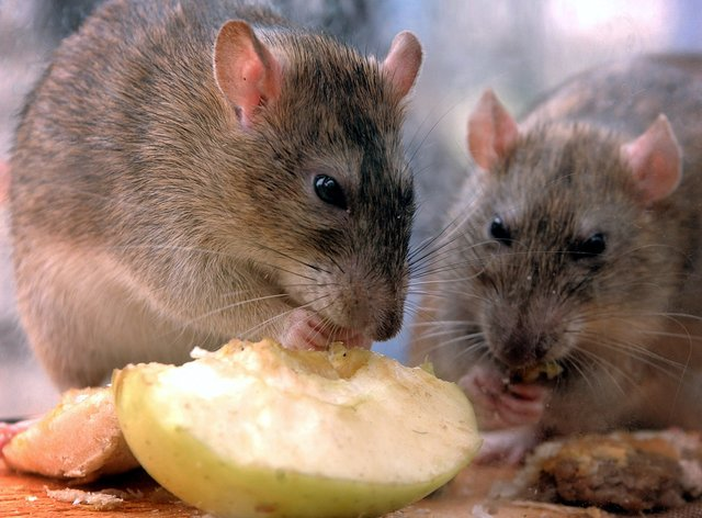 Rats eating an apple slice