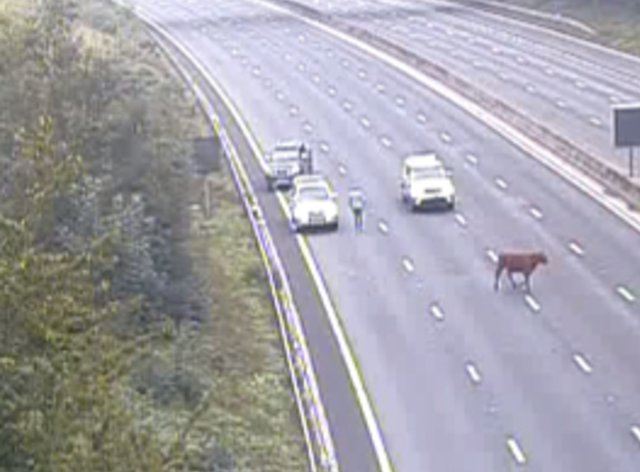 A cow holds up traffic on the M25 (Highways England/PA)