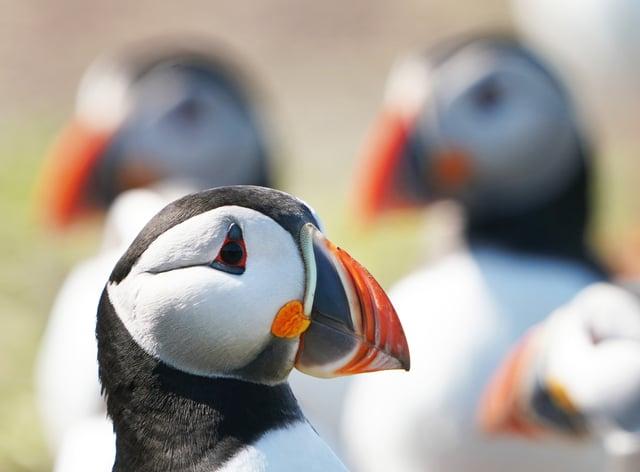 Puffins are under threat on Rathlin Island (Owen Humphreys/PA)