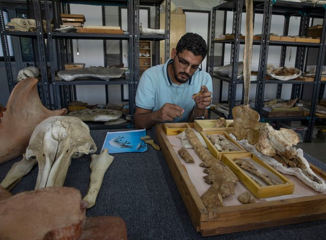 A researcher shows the fossil of a 43 million-year-old four-legged prehistoric whale known as Phiomicetus Anubis (AP)