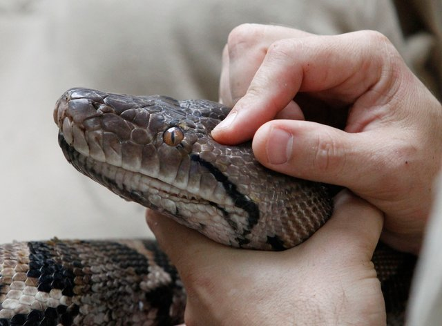 Modern snakes evolved from a few survivors of dinosaur-killing asteroid – study. (Peter Byrne/PA)