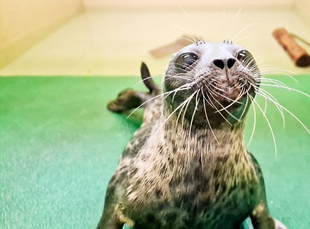 The seal is being cared for by the Scottish SPCA (Scottish SPCA/PA)
